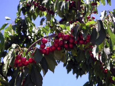 natuurlijke landbouw hooghangend fruit