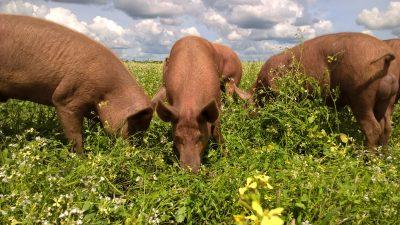 natuurlijke landbouw werkende varkens