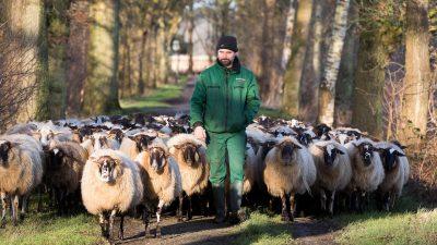 Schaapherder Catrinus Homan met zijn kudde onderweg