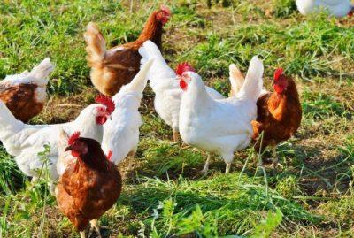 natuurlijk kippen houden