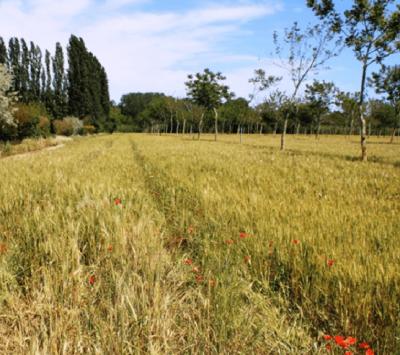 agroforestry en graanteelt