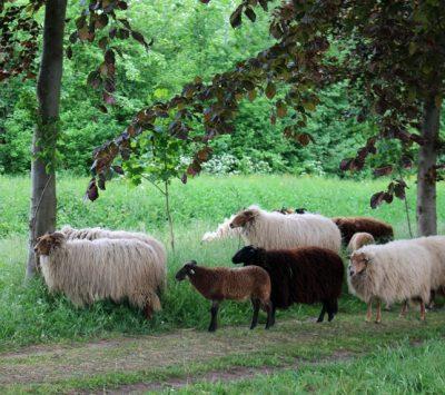 agroforestry schapen